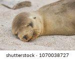 Stock photo galapagos sea lion cub lying sleeping in sand lying on beach galapagos islands animals and 1070038727