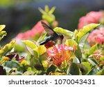 humming bird emerald in... | Shutterstock . vector #1070043431