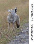 Small photo of Wild coyote lifts head and howls along Spray Lakes Road in Peter Lougheed Provincial Park, Kananaskis County, Alberta, Canada. Season is autumn, September 14, 2017.