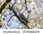 Wood Pigeon Sitting On A Branc...