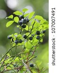 Vaccinium Myrtillus   Bilberry...