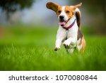Dog Beagle Running And Jumping...