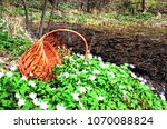 basket to collect snowdrops in... | Shutterstock . vector #1070088824