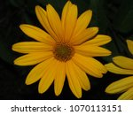 The Flower Bud Of Rudbeckia....