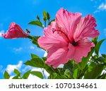 hibiscus  hibiscus rosa... | Shutterstock . vector #1070134661