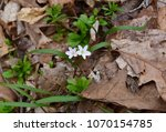 a pair of dainty spring beauty... | Shutterstock . vector #1070154785