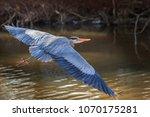 a great blue heron  ardea... | Shutterstock . vector #1070175281