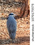 a great blue heron  ardea... | Shutterstock . vector #1070175575
