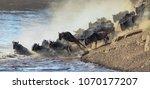 wildebeest river crossing... | Shutterstock . vector #1070177207