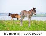 przewalski horses in the flood... | Shutterstock . vector #1070192987