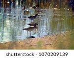 wood sandpiper and green...   Shutterstock . vector #1070209139
