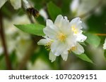 Syringa  Philadelphus   Is...