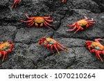 Sally Lightfoot Crabs On...