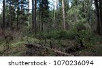 pine forest. depths of a forest.... | Shutterstock . vector #1070236094