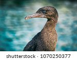 Flightless Cormorant Aka...