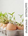 seedling plants in eggshells ...   Shutterstock . vector #1070262995
