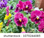 pansy flowers vivid yellow... | Shutterstock . vector #1070266085