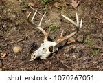 Skull And Antlers Of An Eight...