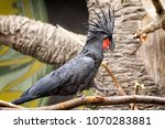 black palm cockatoo full size | Shutterstock . vector #1070283881