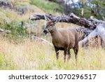 guemal  hippocamelus bisulcus ... | Shutterstock . vector #1070296517