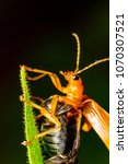 Small photo of Chrysomelidae Aulacophora indica orange beetle bug and insect Flying on green leaf from macro photography with dark background