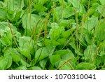 plantago major  plantago ... | Shutterstock . vector #1070310041