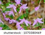 "light pink ""yamato tsuji"" which ... | Shutterstock . vector #1070380469"