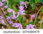 "light pink ""yamato tsuji"" which ... | Shutterstock . vector #1070380475"