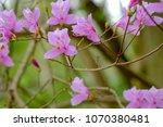 "light pink ""yamato tsuji"" which ... | Shutterstock . vector #1070380481"