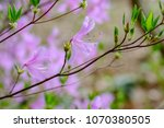 "light pink ""yamato tsuji"" which ... | Shutterstock . vector #1070380505"