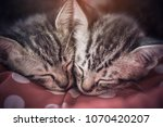 Stock photo close up portrait of sleeping cat kitten vintage and soft process 1070420207
