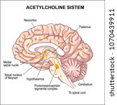 acetylcholine system.... | Shutterstock .eps vector #1070439911