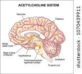 acetylcholine system.... | Shutterstock .eps vector #1070439911