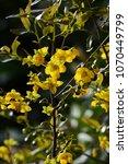 "Small photo of Flowers of ""Ochna Serulata"""