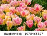 Parrot Tulips  Apricot Parrot ...