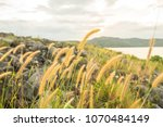 close up of pink reeds grass... | Shutterstock . vector #1070484149