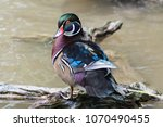 Small photo of Male Wood Duck (Aix sponsa)