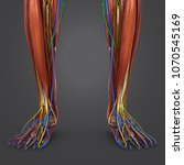 legs muscle anatomy with...   Shutterstock . vector #1070545169