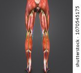 lower limbs muscle anatomy with ... | Shutterstock . vector #1070545175