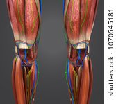 knee joint muscle anatomy with...   Shutterstock . vector #1070545181
