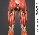 lower limbs muscle anatomy with ... | Shutterstock . vector #1070545211