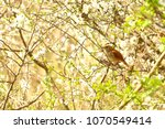 nightingale bird on branch of... | Shutterstock . vector #1070549414