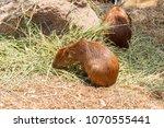 capybara  hydrochaeris...   Shutterstock . vector #1070555441