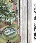 Small photo of Cactus : Kalanchoe thyrsiflora (Paddie Plant, Flapjacks, Desert Cabbage) on the wooden floor