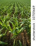 rows of corn in southern... | Shutterstock . vector #10705669