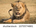 large male lion resting in... | Shutterstock . vector #1070574881