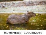 capybara in thai  thailand.   Shutterstock . vector #1070582069