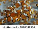 Anemone Fish Of Aquarium