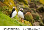 A Pair Of Puffins Sitting On A...