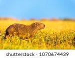 capybara  hydrochaeris...   Shutterstock . vector #1070674439